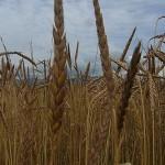 古代小麦ディンケル