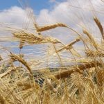 麦秋の一日