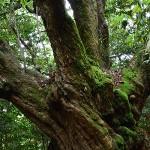 掟に守られてきた原生林