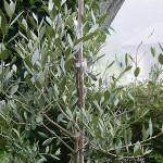 ヒグラシの季節にオリーブを植える。