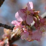 「雨水」 と、かんなみ桜